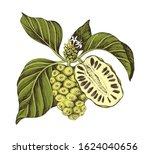 hand drawn vector colorful noni ... | Shutterstock .eps vector #1624040656