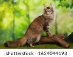Maine Coon In Summer Forest