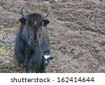 yak - stock photo