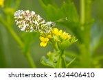Male Orange Tip Butterfly On...