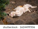 A White Cute Cat Lying On The...