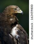 Aquila Pomarina  Lesser Spotte...