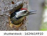 Ladder Backed Woodpecker Is...