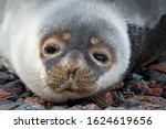 A Closeup Of A Harp Seal's Head ...