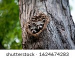 A Family Of Racoons Hanging Ou...