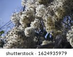 Tufts Of Clematis Seeds In...