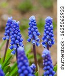 Armenian Grape Hyacinth Or...