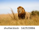 Beautiful Lion Caesar In The...
