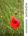 Small photo of Red Poppy Flower closeup surrounded by an immense green