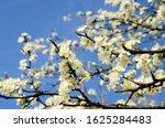 White Cherry Blossom On The...