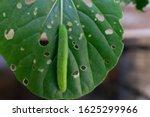 Cabbage Worm Caterpillar Pest...