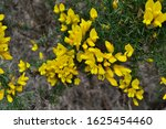 Close Up Of Yellow Flowers On...