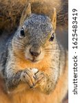 A Fox Squirrel With Nut Close Up