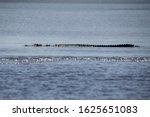 Saltwater Crocodile On The...