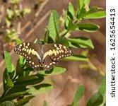 Citrus Swallowtail Or Christma...