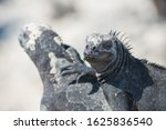 Close-up of two black iguana on white sand, on top of each other, Galapagos, Ecuador. Focus on the face, the rest is blurred.