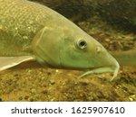 The Common Barbel  Barbus...