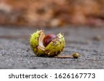 A Shinny Brown Horse Chestnut...