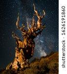 Ancient Bristlecone Pine Tree...