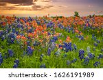 Texas Bluebonnets And Indian...