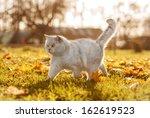 Stock photo british shorthair cat in autumn 162619523