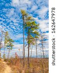 High pine trees in autumn mountain forest. - stock photo
