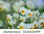 Beautiful White Daffodil...