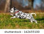 Happy Dalmatian Puppy Running