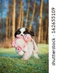 Stock photo saint bernard puppy playing with soft toy bunny 162655109