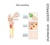 bone remodeling process ... | Shutterstock .eps vector #1626599023