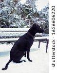 Black American Labrador...