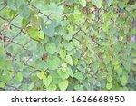 the beauty of green ivy.... | Shutterstock . vector #1626668950