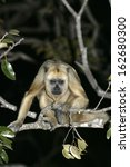 Small photo of Black-howler monkey, Alouatta caraya, single female on branch, Brazil