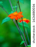 Tithonia Rotundifolia ...