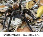 Big Tarantula Protecting Her...