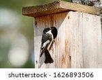 European Pied Flycatcher...