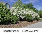 Snowball Bush  Viburnum Opulus  ...