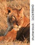 lioness | Shutterstock . vector #162698840