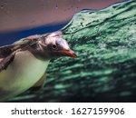 The Gentoo Penguin  Pygoscelis...
