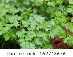 Parsley Plant In A Herb Garden