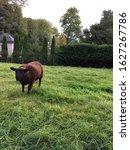 Small photo of Black sheep grazing grass, Ireland