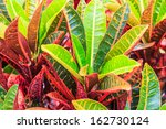 Colorful Croton Leaves For...