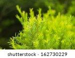 Green Australian Tea Tree.