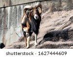 Moufflon  Ovis Orientalis  On...