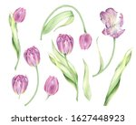 Watercolor Isolated Pink Tulip...