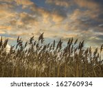reed at sunset with blue sky... | Shutterstock . vector #162760934