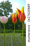Three Wonderful Tulips On A...