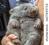 Small photo of Wombat, Vombatus ursinus, in the arms of a ranger in a fetal position. Closeup of masupial and adult Australian herbivore.
