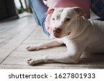 A Large White Pitbull Dog Lying ...
