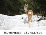 European Roe Deer  Capreolus...